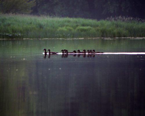 Ducks810Screenshot